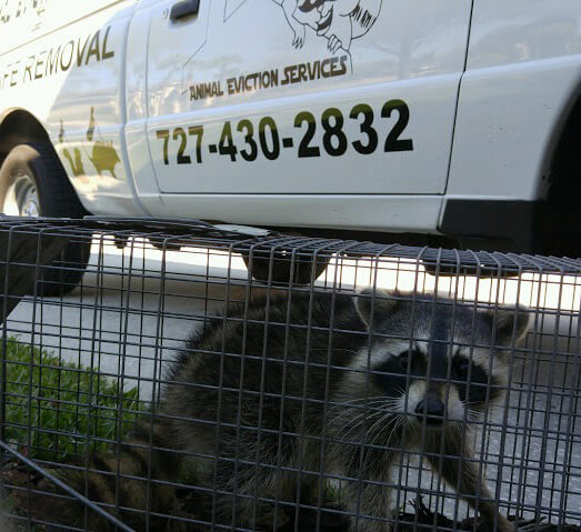 st petersburg raccoon removal