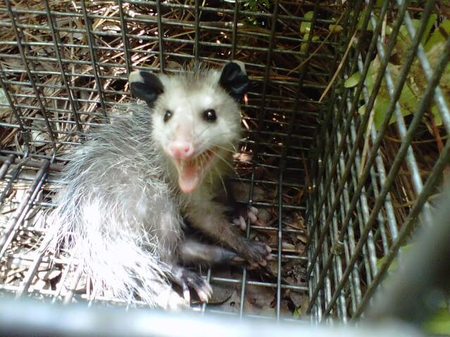 st petersburg fl possum removal